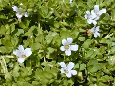 Bacopa monnieri, white flowers surround the base of other bog plants at the surface like umbrella palms or thalia delbata