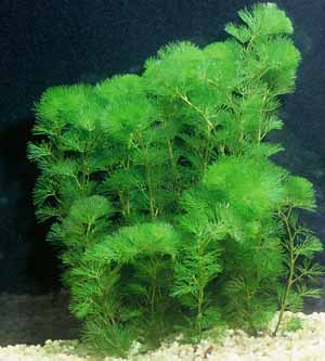 Oxygenating plants water garden blog pond plants and for Oxygenating plants for a small pond