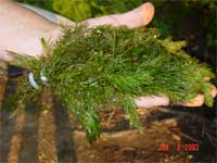 Hornwort pictured with sinking weight