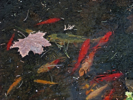 goldfish chilling out under a thin layer of ice