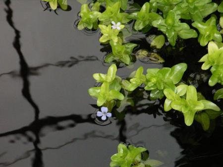 Lemon Bacopa, wonderful oxygenator that blooms once it gets to the waters surface.
