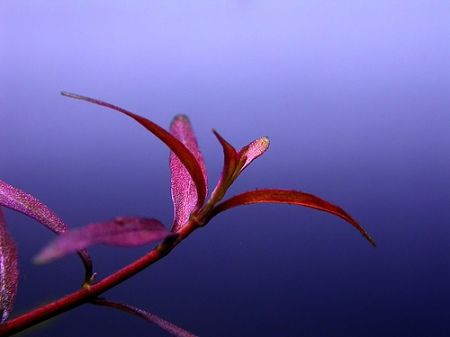 ludwigia_red