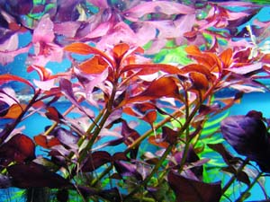 Red Star Ludwigia near waters surface