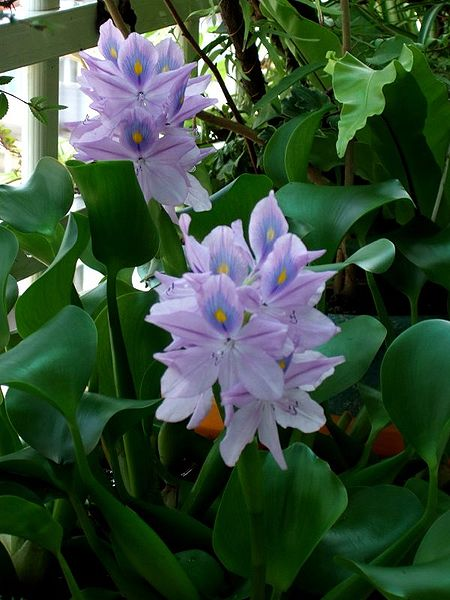 Water Hyacinths Growing, To Flower let them grow in clucsters, fertilize with miracle grow, and they like sun and heat 85*+