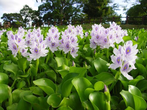 Water Hyacinth Farm