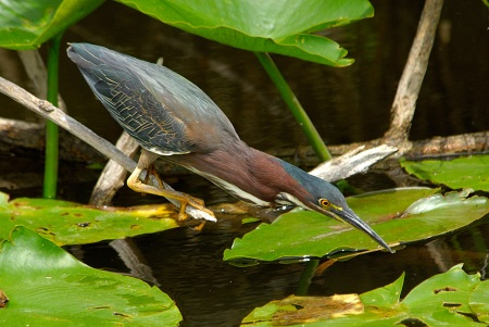 Small & very pretty green heron, Still gonna eat your fish!