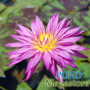 Zac's Favorite Water Lily to date! Miami Rose. Intense, long lasting, mottled foliage!