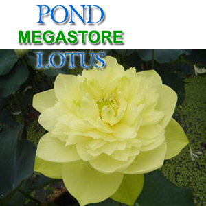 Crystal Beauty Lotus (Availabe Apr-Jun)